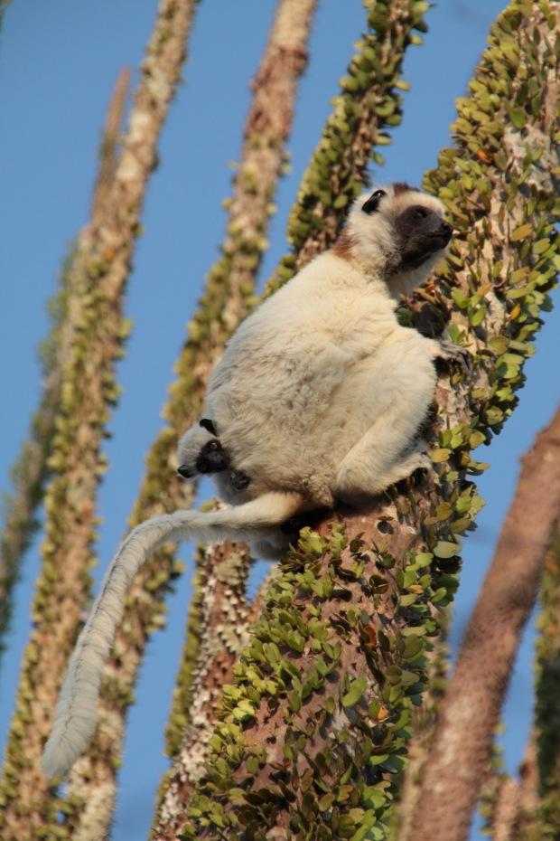 Ring Tailed Lemur Sexually Dimorphic