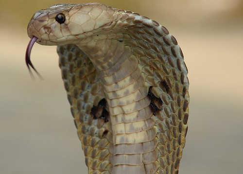 Indian cobra, Naja naja. Photo: Kamalnv (Own work) [CC-BY-3.0 (http://creativecommons.org/licenses/by/3.0)], via Wikimedia Commons