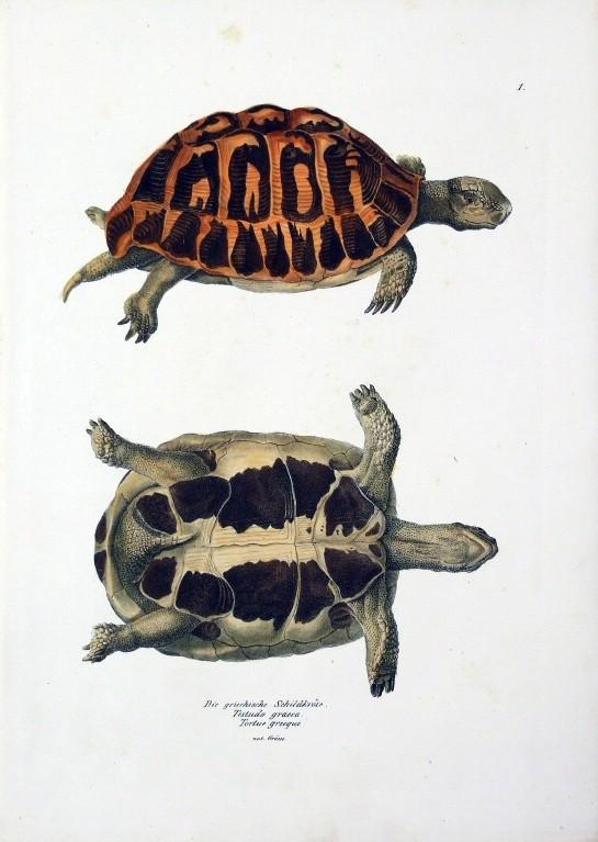 """""""Naturgeschichte und Abbildungen Der Reptilien,"""" 1836 Artwork: By Heinrich Rudolf Schinz (1777-1861), lithographer Karl Brodtmann [Public domain], via Wikimedia Commons"""