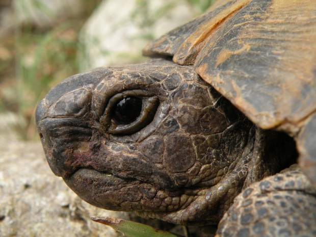 Testudo graeca, the spur-thighed tortoise. Other common names include Greek tortoise, Moorish tortoise, and common garden tortoise. By Moise Nicu (Own work) [CC-BY-3.0 (http://creativecommons.org/licenses/by/3.0)], via Wikimedia Commons