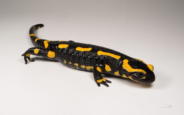 A European fire salamander, Salamandra salamandra. Photo: Didier Descouens via Wikimedia Commons.